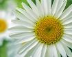 The Humble Daisy