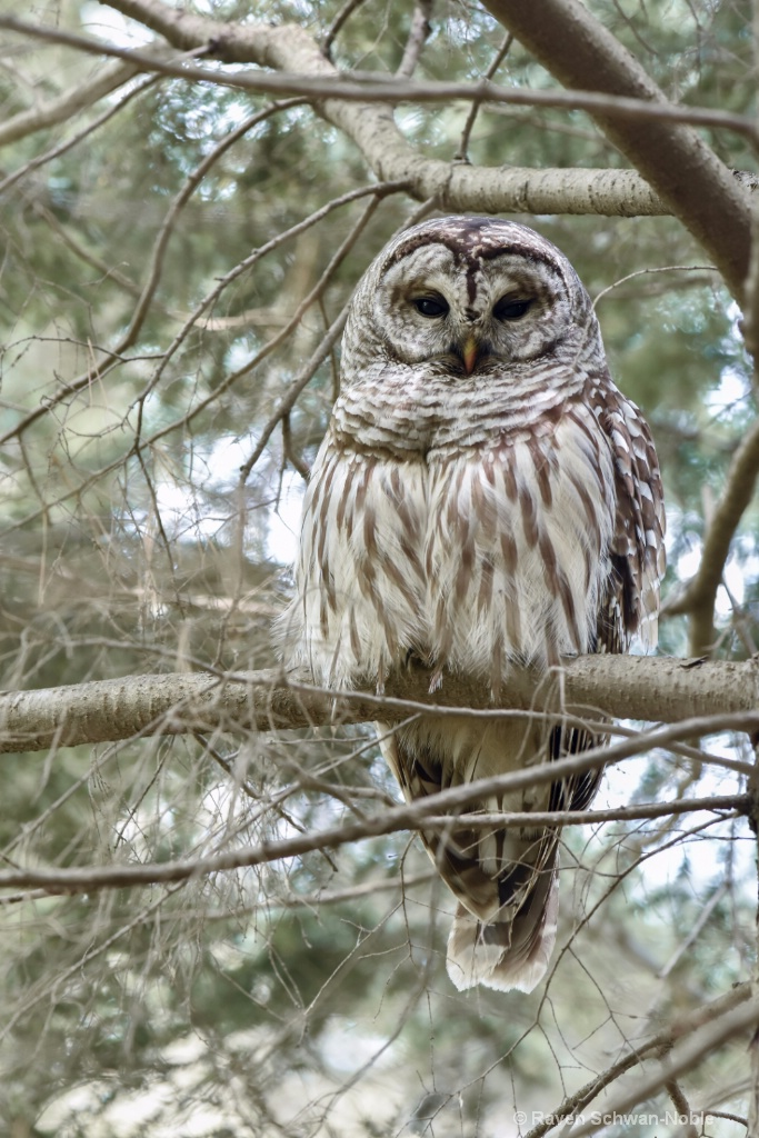 Barred Owl~ Keeper of the Forest - ID: 15160574 © Raven Schwan-Noble