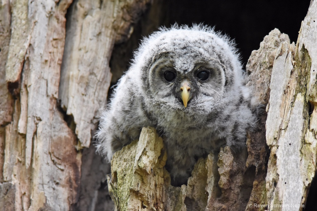 Barred Owlet #3 - ID: 15160575 © Raven Schwan-Noble