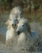 Wild White Camarg...