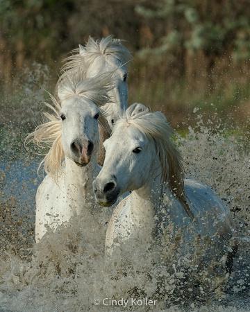 Wild White Camargue Horses running through a marsh