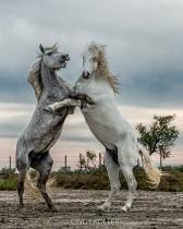 Most beautiful Stallion  - Grudge Match