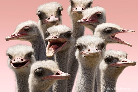 An Orchestra of Ostriches