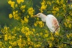 Cattle Egret and ...