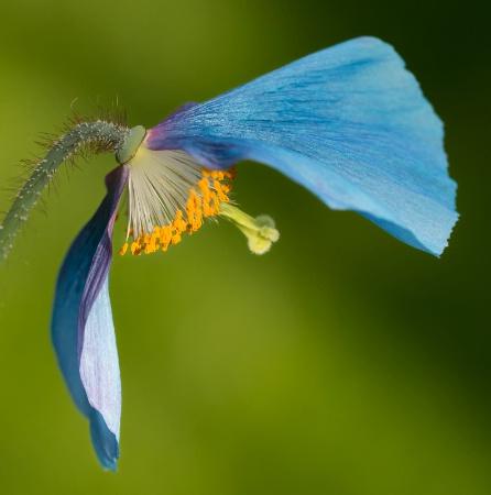 Blue Poppy Profile