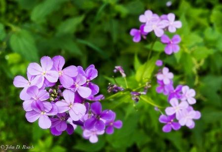 Wild Flowers-Phlox
