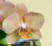 Phalaenopsis Orch...