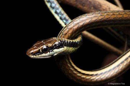 Macro - Bronzeback Snake Close Up