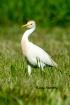Cattle Egret In B...