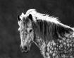 Horse in Monochro...