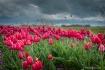 Pink tulips waiti...