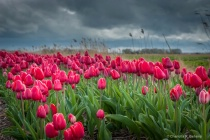Pink tulips waiting for the storm