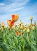 Tulips in the sky