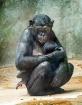 Bonobo Baby and M...