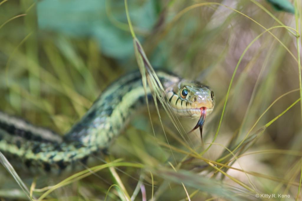 Garter Snake in the Grass - ID: 15169985 © Kitty R. Kono