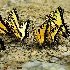 2Swallowtails Puddling at Tremont - ID: 15171374 © Carol Eade