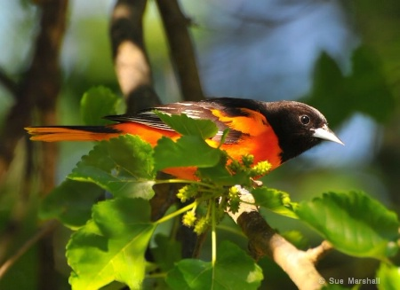 ~ Baltimore Oriole ~
