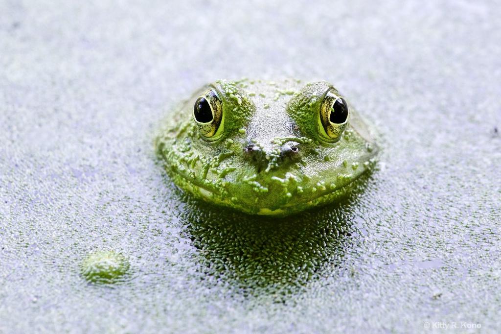 Froggie - ID: 15175255 © Kitty R. Kono