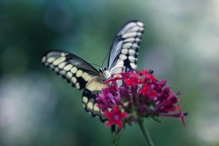 Butterfly Alit