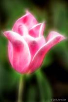 Artistic Pink Tulip 4-23-16 346