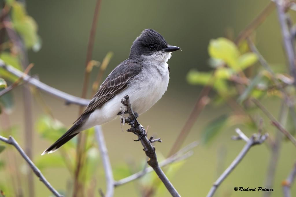 Kingbird 9847