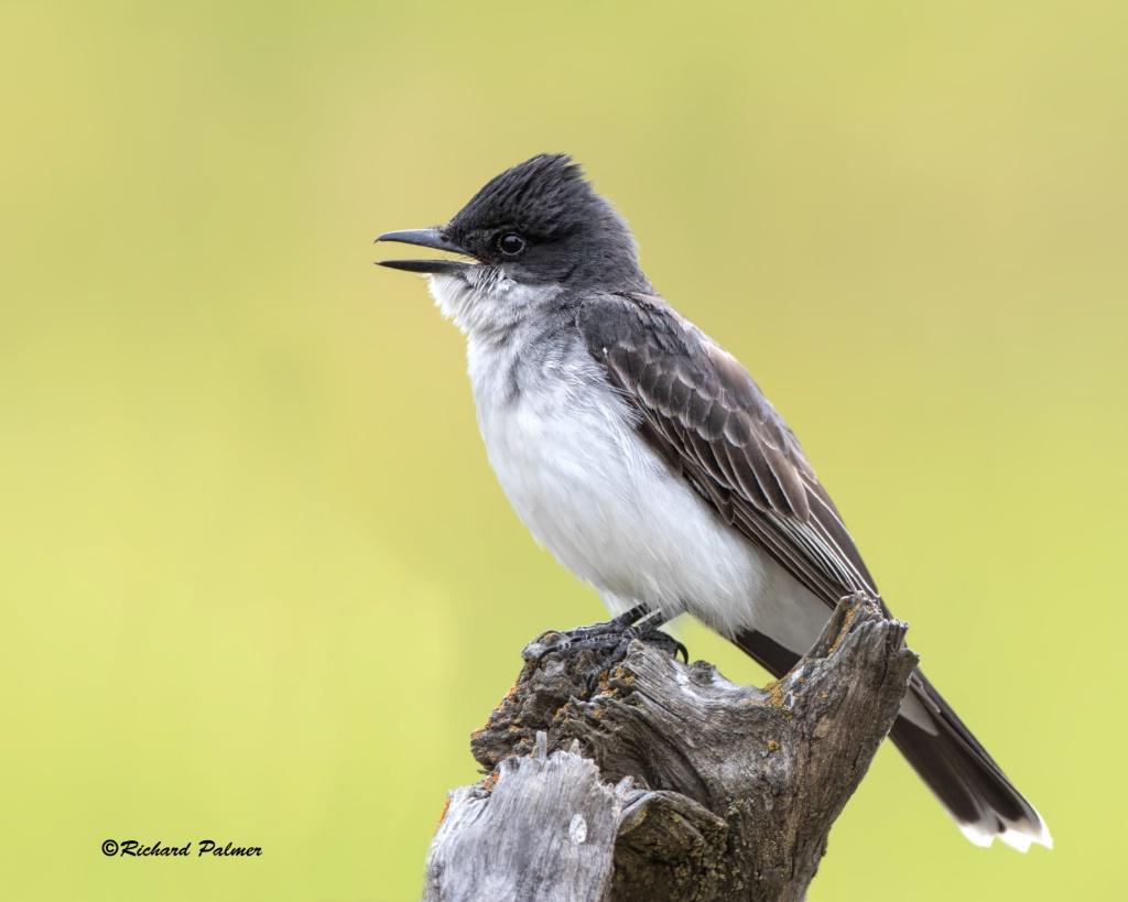 Kingbird 9735