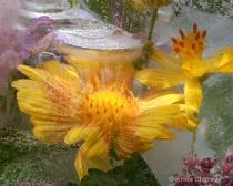 Blanket flower in ice