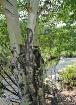 Aspen Tree - Colo...