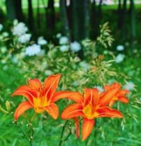 Wild Lilies on Display