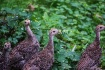 Baby Turkeys-1