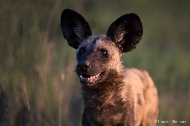 Smiling Wild Dog - ID: 15184182 © Louise Wolbers