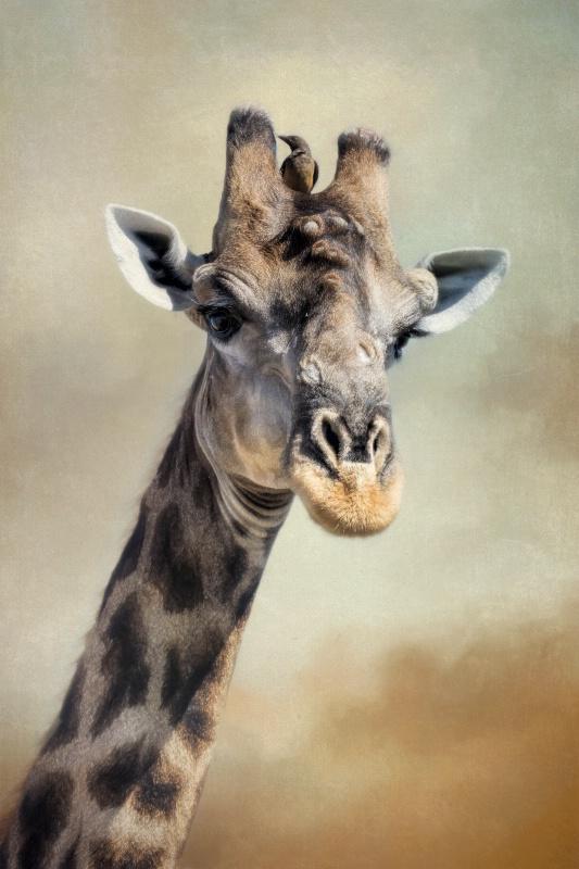 Giraffe and friend!