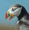 Happy Puffin