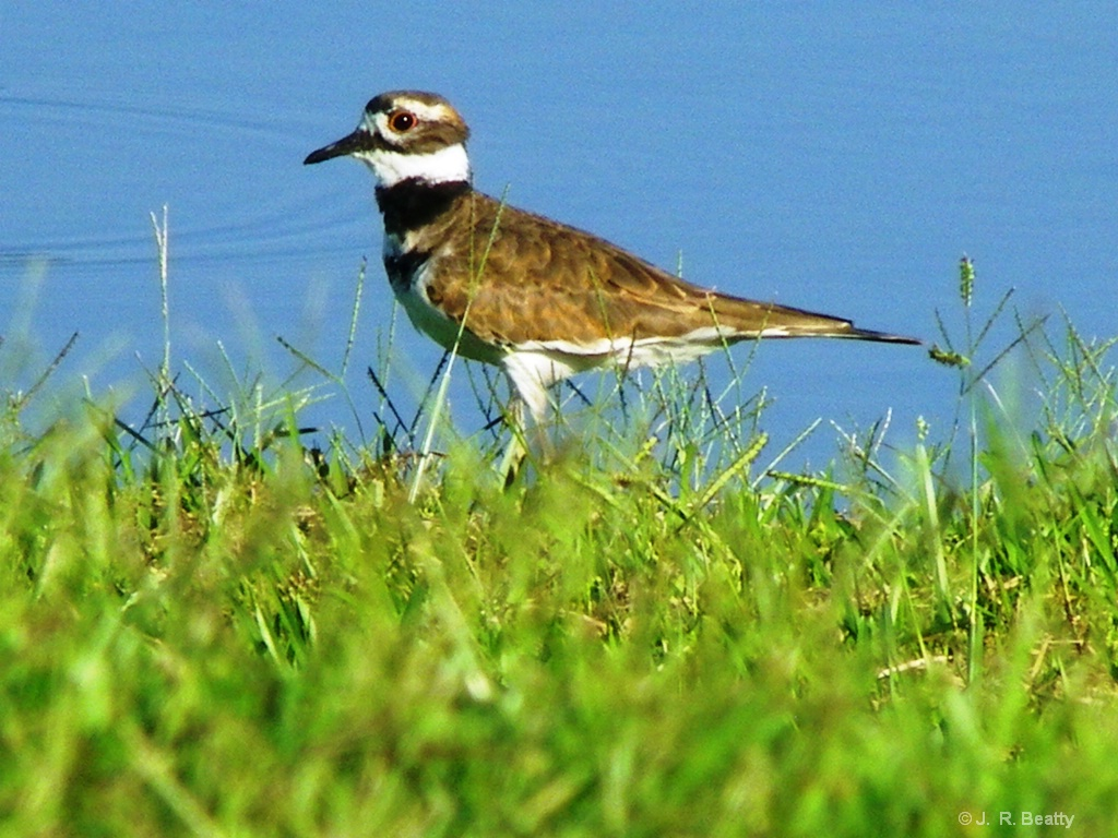 POND PLOVER PROUDLY POSING - ID: 15185907 © J.R. Beatty