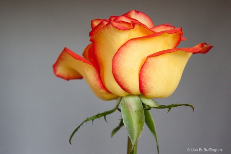 Red Trimmed Rose
