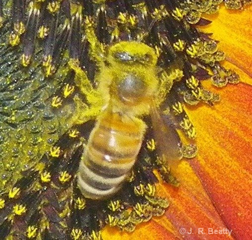 BEE, UP CLOSE AND PERSONAL  - ID: 15185951 © J.R. Beatty