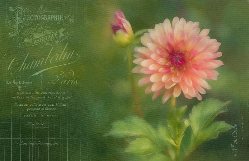 The French Garden Dahlia