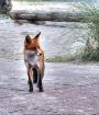 Fox into the dune...