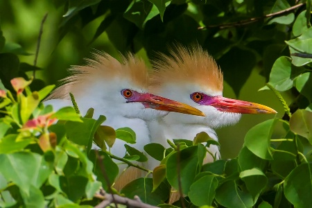 Hidden Cattle Egret Pair