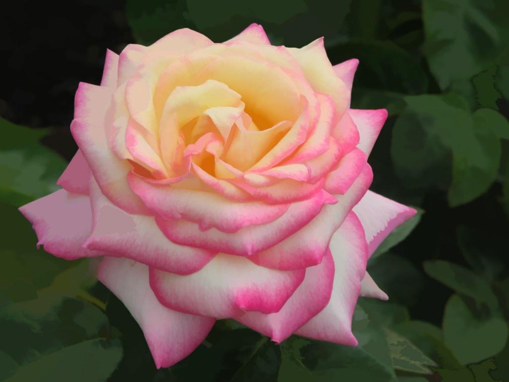 Hybrid Tea Rose: Peace - ID: 15199847 © Kathleen McCauley