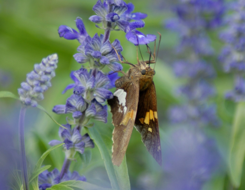 Butterfly and Blue Salvia - ID: 15200460 © Kathleen McCauley