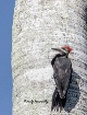 Pileated Woodpeck...