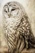 Barred Owl Restin...