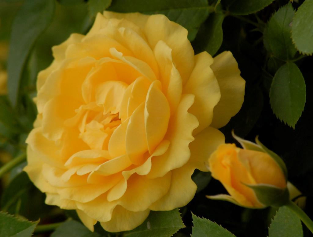 Floribunda Rose: Julia Child - ID: 15203124 © Kathleen McCauley
