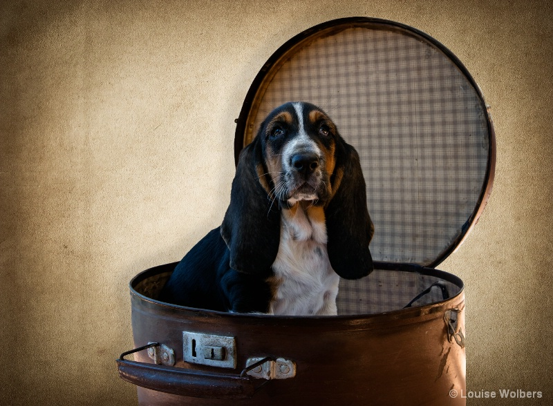 Bell the Bassett Hound - ID: 15205462 © Louise Wolbers