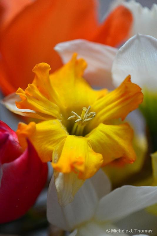 Daffodil ! - ID: 15207734 © Michèle J. Thomas