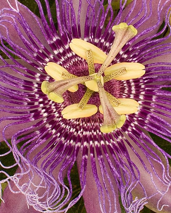 Purple Passion - ID: 15207858 © Mary-Ella Bowles