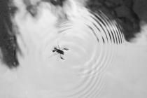 Water Skipper