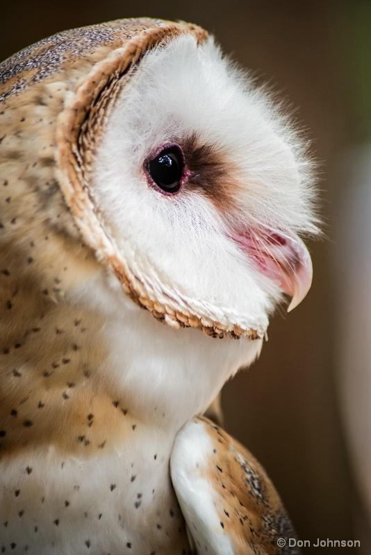 Profile of a Barn Owl 8-14-16 - ID: 15210068 © Don Johnson