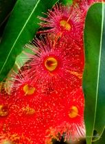 A Red Flowering Gum Tree